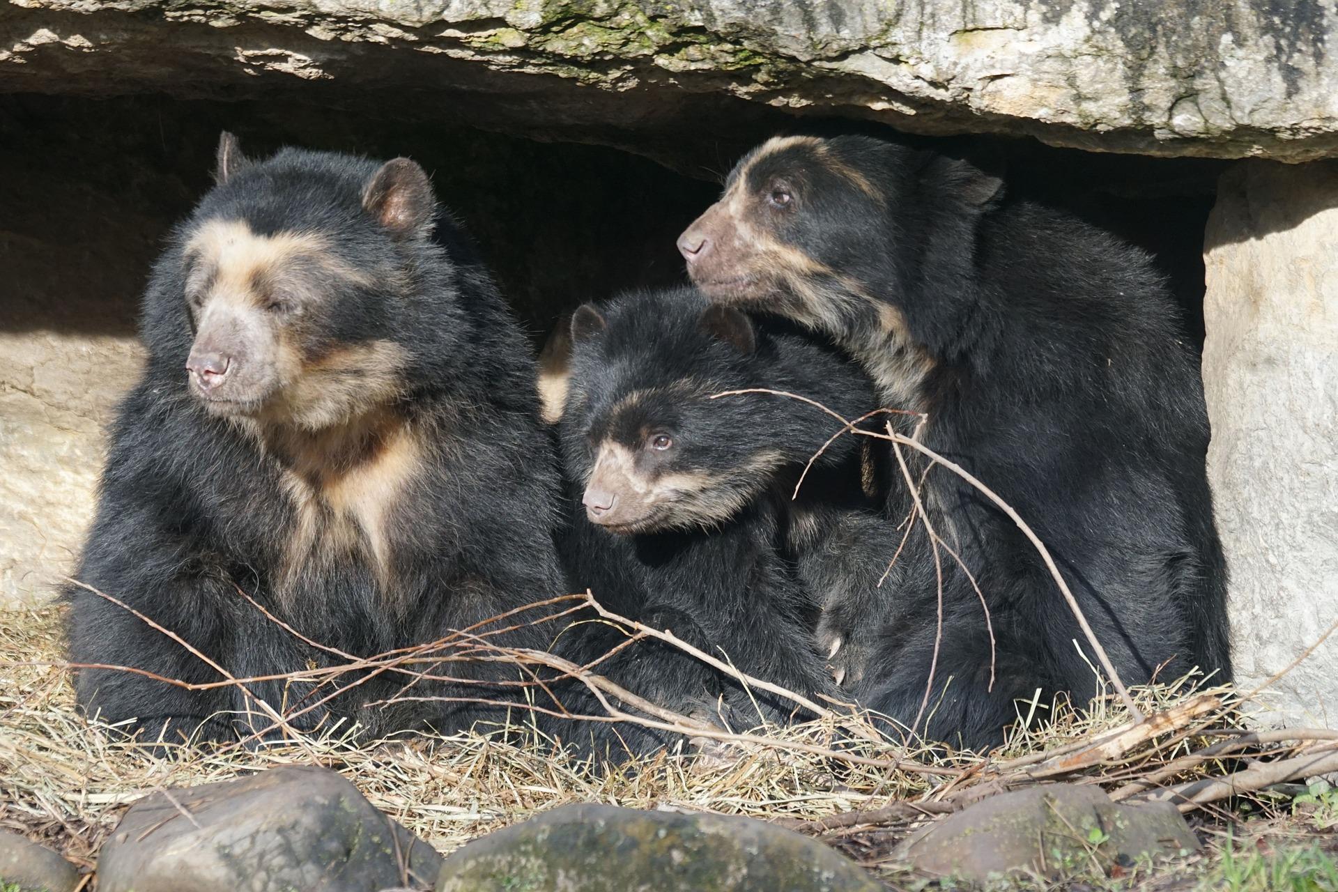 spectacled-bear-857433_1920.jpg